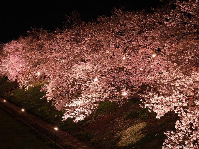 小矢部川河川敷の「ふくみつ千本桜」