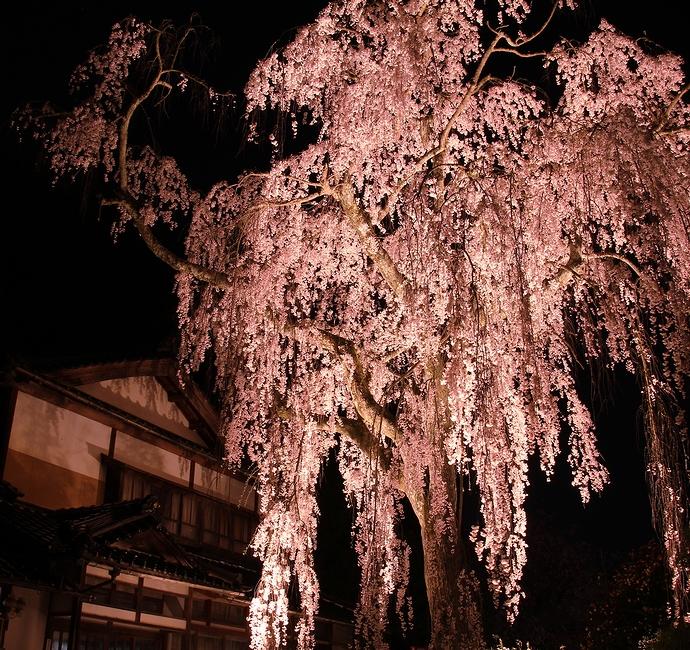 喜多家のしだれ桜 ライトアップ(石川県かほく市)