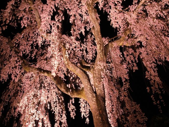 幻想的なしだれ桜ライトアップ(かほく市喜多家)