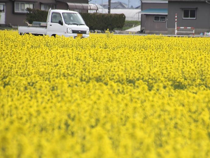 入善の春の風景(菜の花畑)