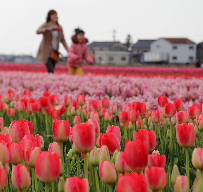チューリップ畑で楽しむ親子(富山県入善町)