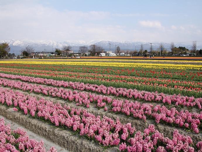 入善のチューリップ畑(にゅうぜんフラワーロード)