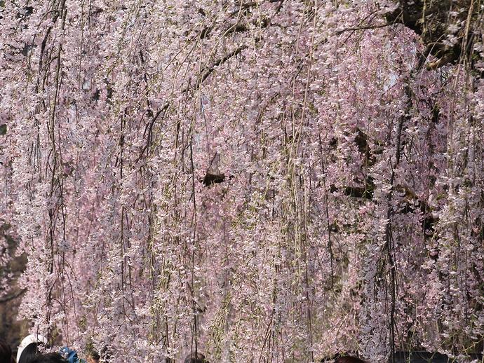 満開のシダレザクラ まるで桜の暖簾