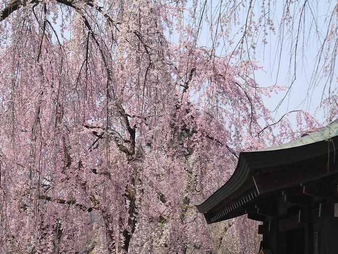 みちのくの小京都 角館の春