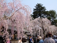 その1 角館の桜