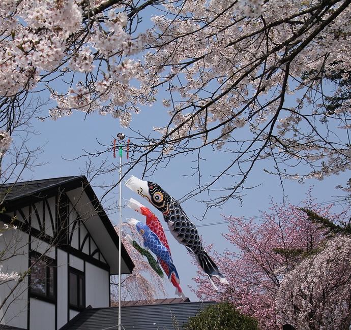 鯉のぼりと桜のコラボレーション(角館にて)