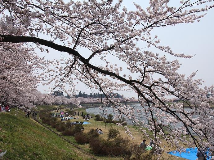 角館・桧木内川堤の桜並木 これでも開花1日後