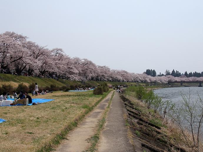 ズラリと続く桜並木(角館・桧木内川べり)