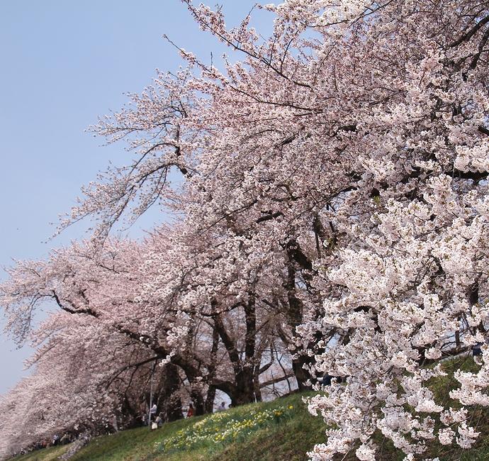 角館の桜景色(桧木内川堤ソメイヨシノ)