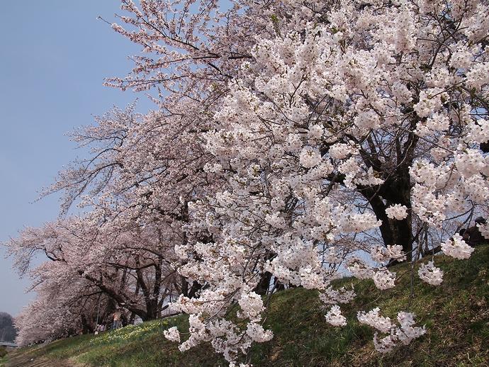 5分咲きの桧木内川堤