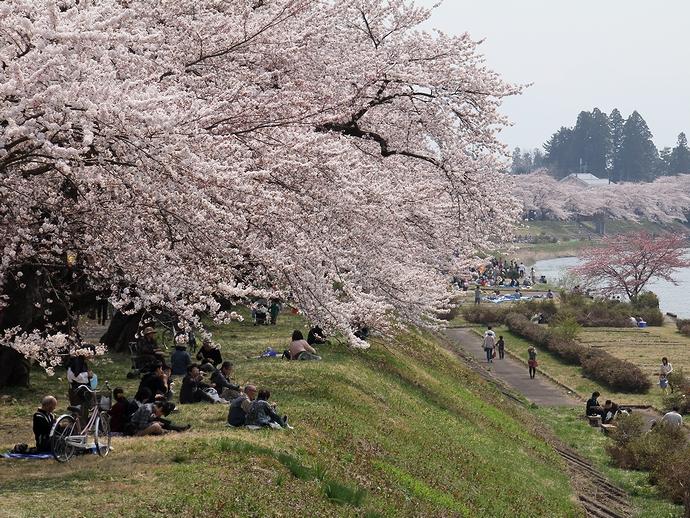 桧木内川堤の桜並木(角館にて)
