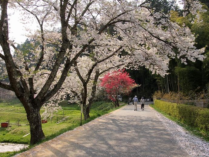 中尊寺 散り際の桜