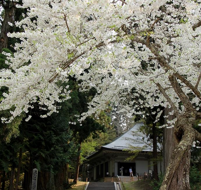 中尊寺金色堂覆堂と桜のコラボレーション
