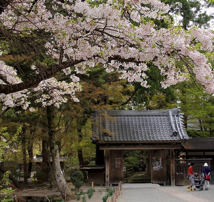 中尊寺本堂に咲く桜