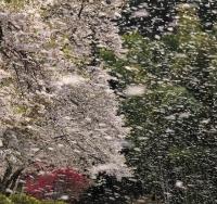 その2 桜舞う世界遺産・中尊寺
