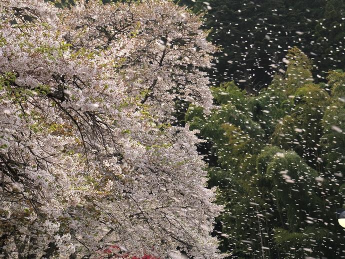 平泉・中尊寺の豪快な桜吹雪
