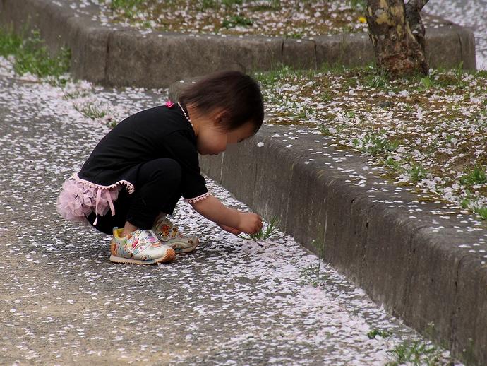 桜吹雪の中で 桜の花びらを集める
