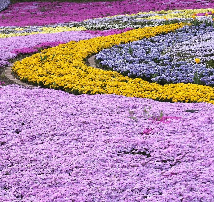 みちのく杜の湖畔公園 芝桜とパンジーの共演