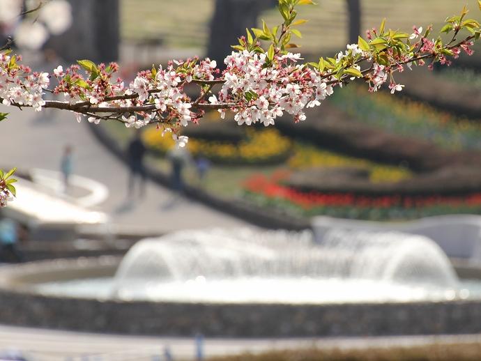 みちのく杜の湖畔公園 桜の季節も終わりです