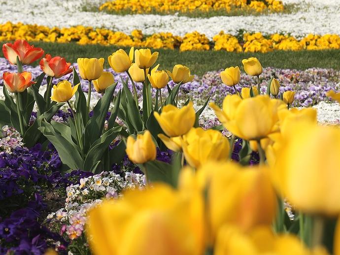 カラフルな花壇にチューリップ(みちのく杜の湖畔公園)
