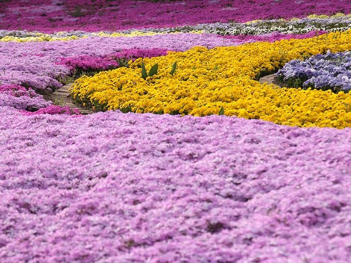 芝桜のカラフルな花壇(みちのく杜の湖畔公園にて)