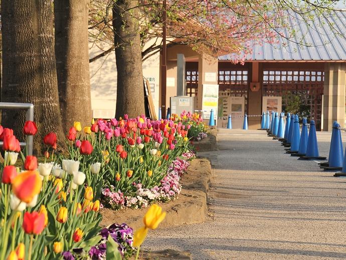 みちのく杜の湖畔公園 入口のチューリップと桜並木