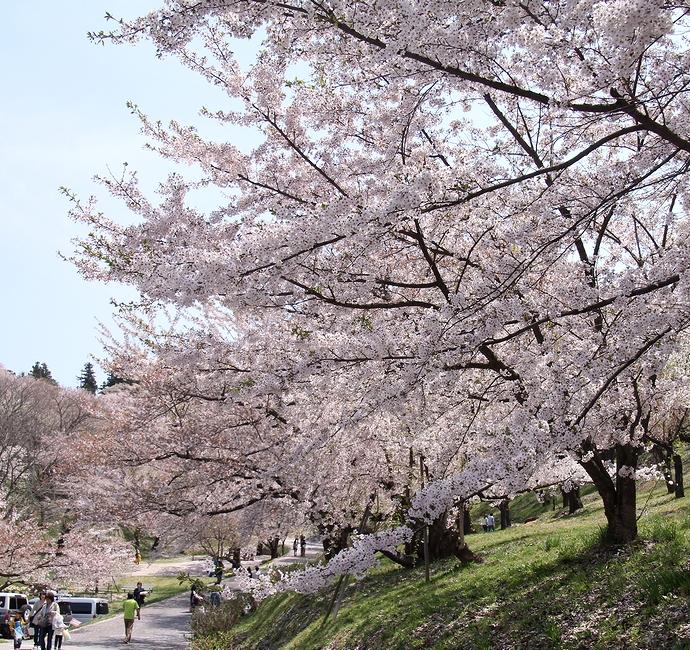 置賜さくら回廊の起点 烏帽子山公園千本桜