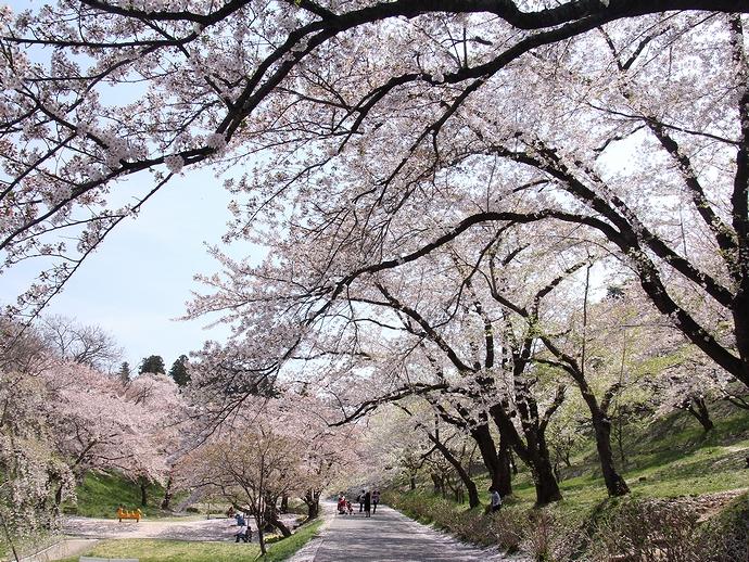 烏帽子山千本桜の桜並木
