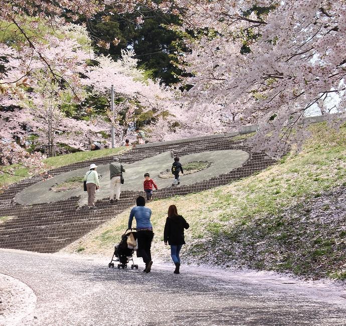 ソメイヨシノ咲く烏帽子山公園(山形県南陽市