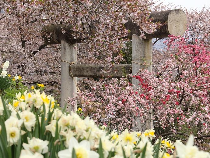 春の花たちが彩る烏帽子山八幡宮大鳥居