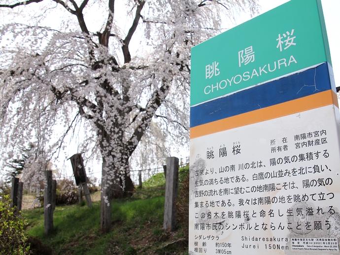 眺陽桜の案内板