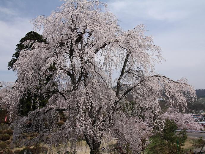 双松公園の眺陽桜(置賜さくら回廊)