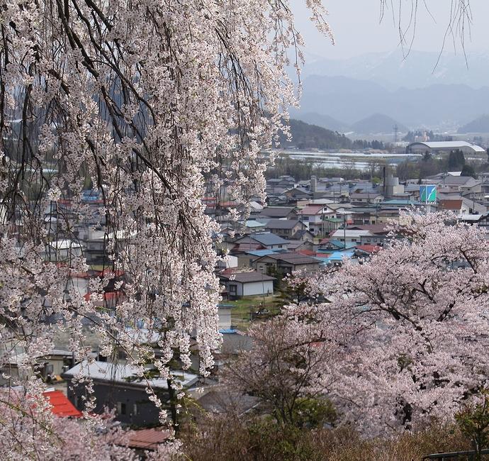 双松公園の眺陽桜と南陽市の町並み