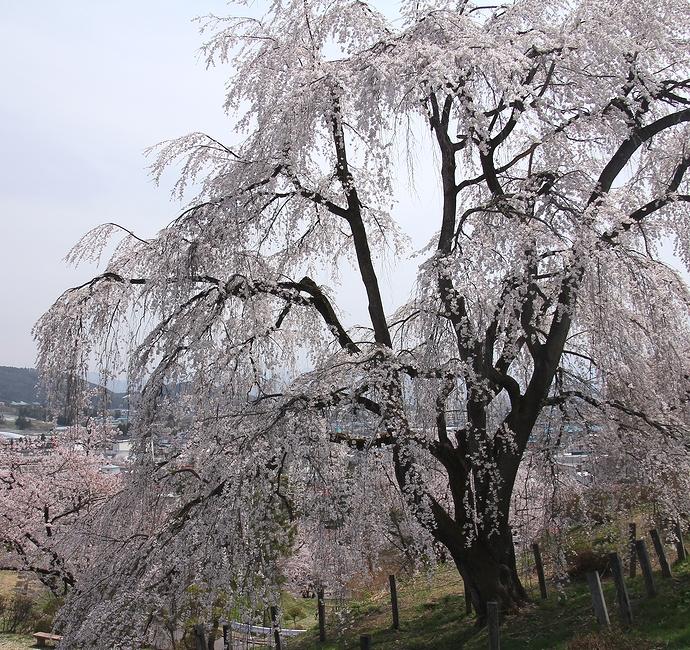 双松公園の眺陽桜 枝ぶりが素晴らしい