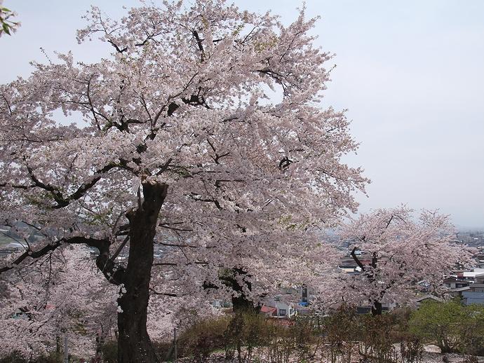 双松公園の桜たち
