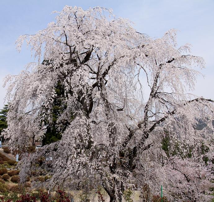 置賜さくら回廊 双松公園の眺陽桜