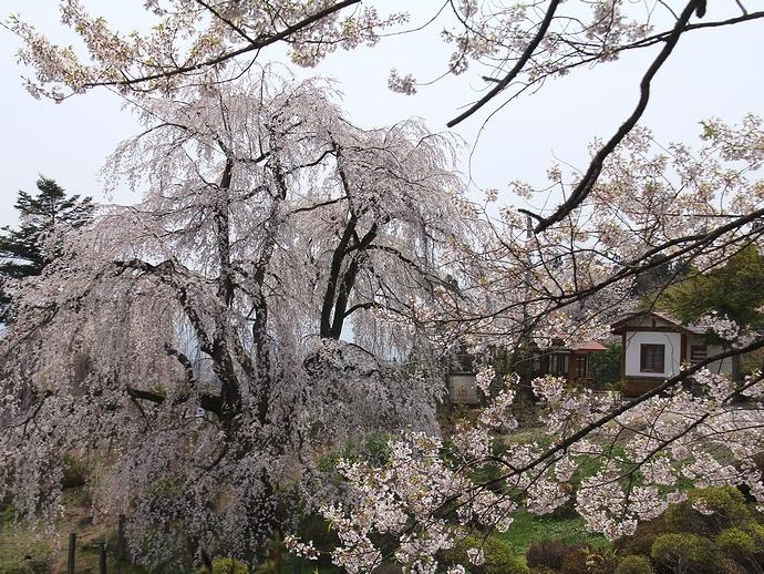 「眺陽桜」を引き立てる桜たち(置賜さくら回廊双松公園にて)