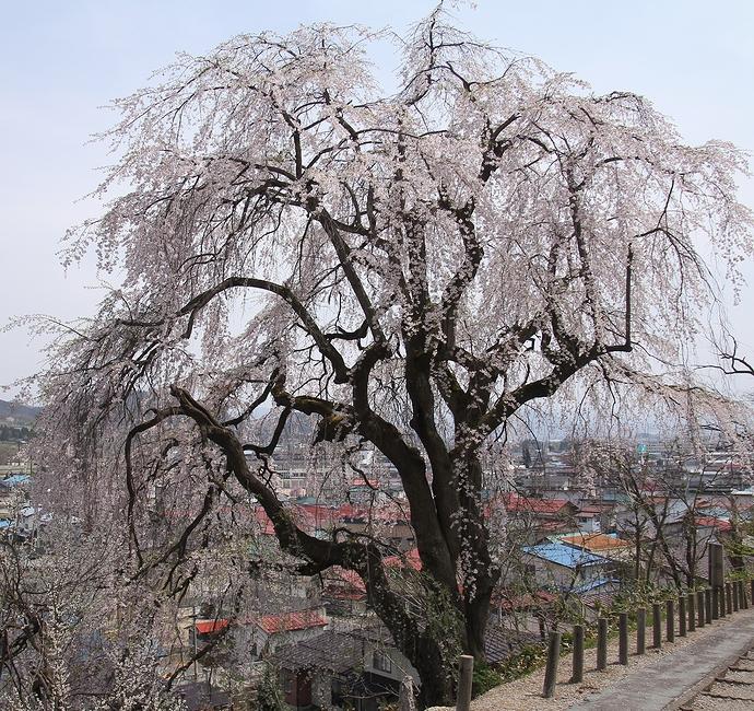 置賜さくら回廊 双松公園の慶海桜