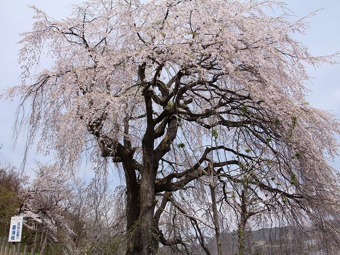 孤高の一本桜(双松公園にて)