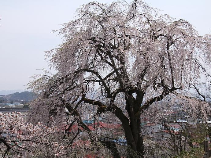 双松公園の「慶海桜」