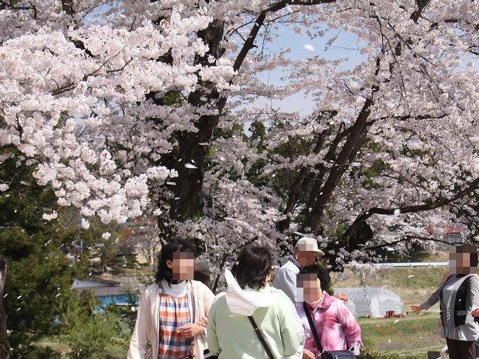 伊佐沢の久保桜 桜吹雪