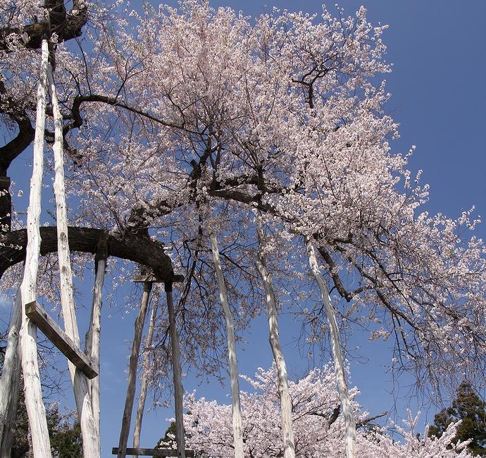 置賜さくら回廊の名木 伊佐沢の久保桜