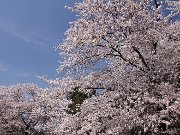 伊佐沢の久保桜周辺のソメイヨシノたち