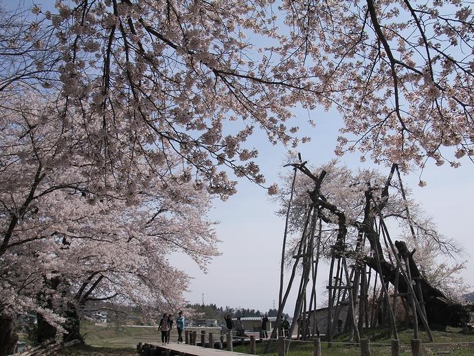 ソメイヨシノ 主役の久保桜を引き立てる