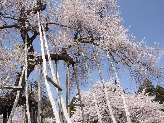 伊佐沢の久保桜 今年も薄紅色の花をつけて