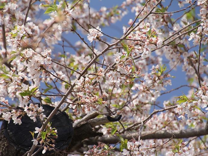 伊佐沢の久保桜 桜の花と若葉