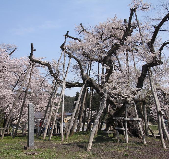 樹齢1200年 国の天然記念物「伊佐沢の久保ザクラ」