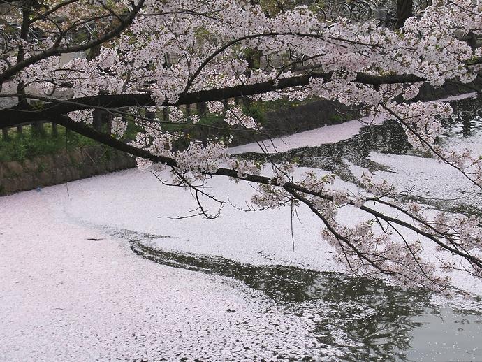 米沢・松が岬公園で見たお堀の花筏