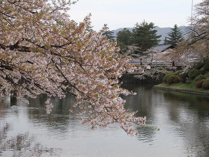 松が岬公園の桜 ほぼ終わりかけ