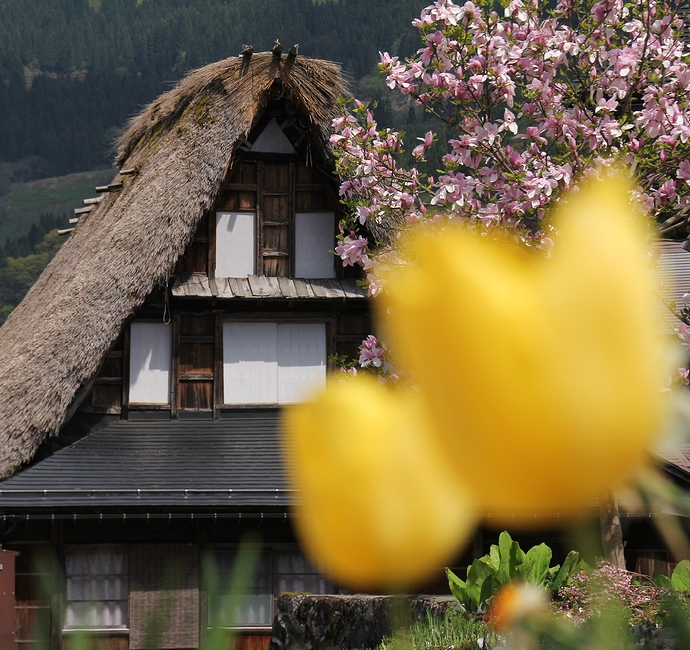 初夏の花が彩る合掌造り 相倉合掌造り集落にて